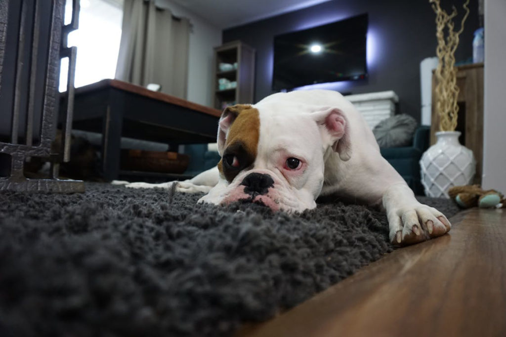 Sad-looking dog resting on a carpet